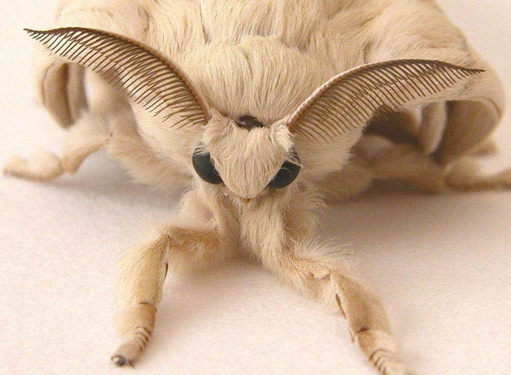 Venezuelan Poodle Moth  Fungi & Moths  Pinterest  Moth Poodle Fascinating Small Moths In Bathroom Design Decoration