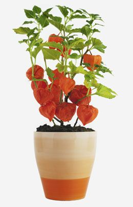 Chinese Lantern Plants Can Brighten Up Your Garden With Their Flashy Orange Seed Covers This Article Will Provide You Some Tips About Growing