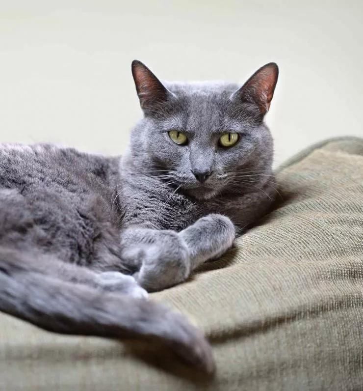 Pin on Korat cat