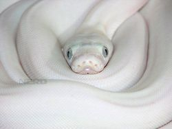 Albino burmese python.