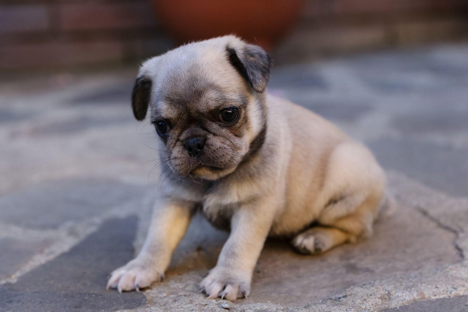 Pug French Bulldog Frugg Pug Mixed Breeds Cute Puppies