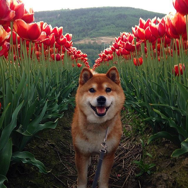 Type of Dogs that Look Like Wolves 幸せな犬, いぬ, 芝犬