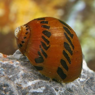 Tiger Nerite Snail Eats Algae Will Not Breed In Freshwater Aquarium Snails Tropical Freshwater Fish Fresh Water