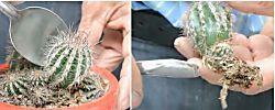 ¿Cómo reproducir nuestros cactus y suculentas preferidas?