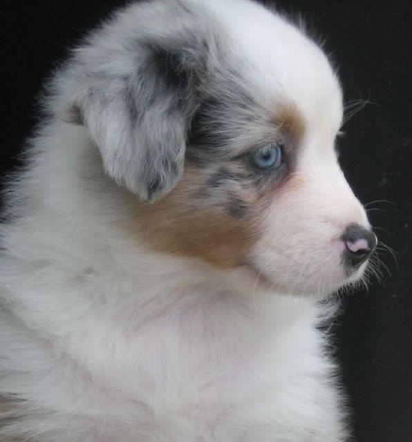 Precious Aussie Puppy