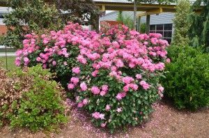 'Pink Double Knockout' roses at UT Gardens in Knoxville, TN #knockoutrosen 'Pink Double Knockout' roses at UT Gardens in Knoxville, TN #knockoutrosen 'Pink Double Knockout' roses at UT Gardens in Knoxville, TN #knockoutrosen 'Pink Double Knockout' roses at UT Gardens in Knoxville, TN #knockoutrosen