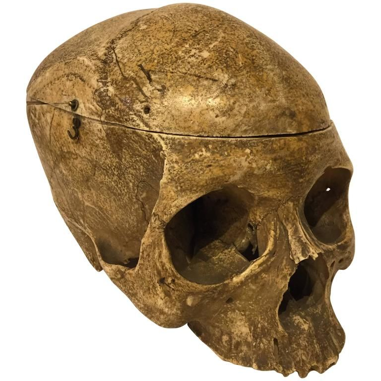 19th Century Human Skull Medical School Anatomy For Sale at 1stdibs ...