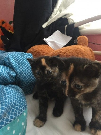 Female Tortoiseshell Kitten For Good Home Cute Cats Cats