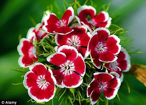 Worth The Wait Biennials Flower The Year After You Plant Them Get Sowing Sweet William Flowers Annual Flowers Sweet William
