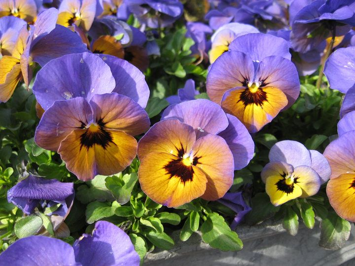 Purple fade to gold color all the things pinterest pansies purple fade to gold mightylinksfo
