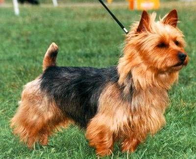 I miss Sydney Australian Terrier. (Dogs)   Dog breeds ...