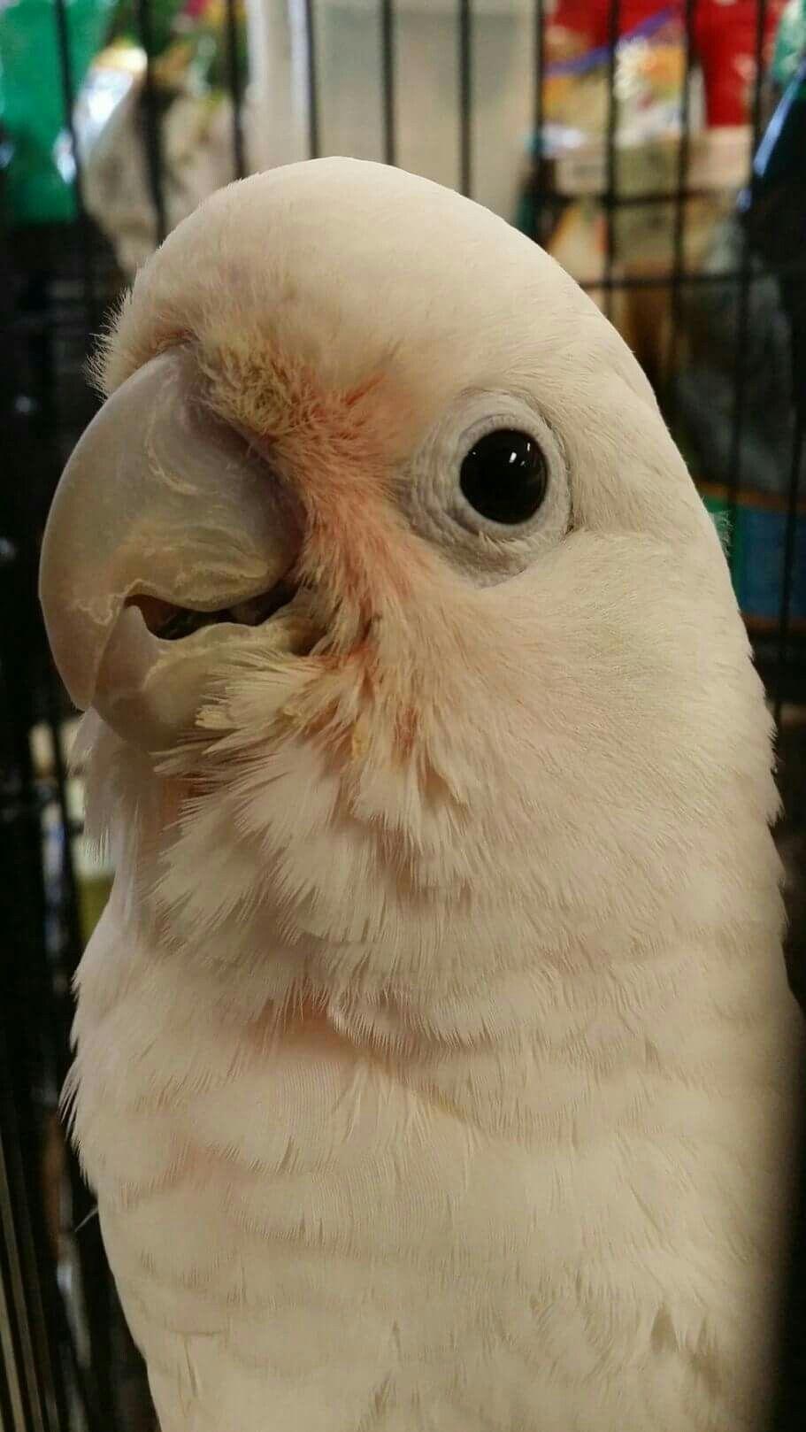Goffin Cockatoo Best Pet Birds Pet Birds Puffins Bird