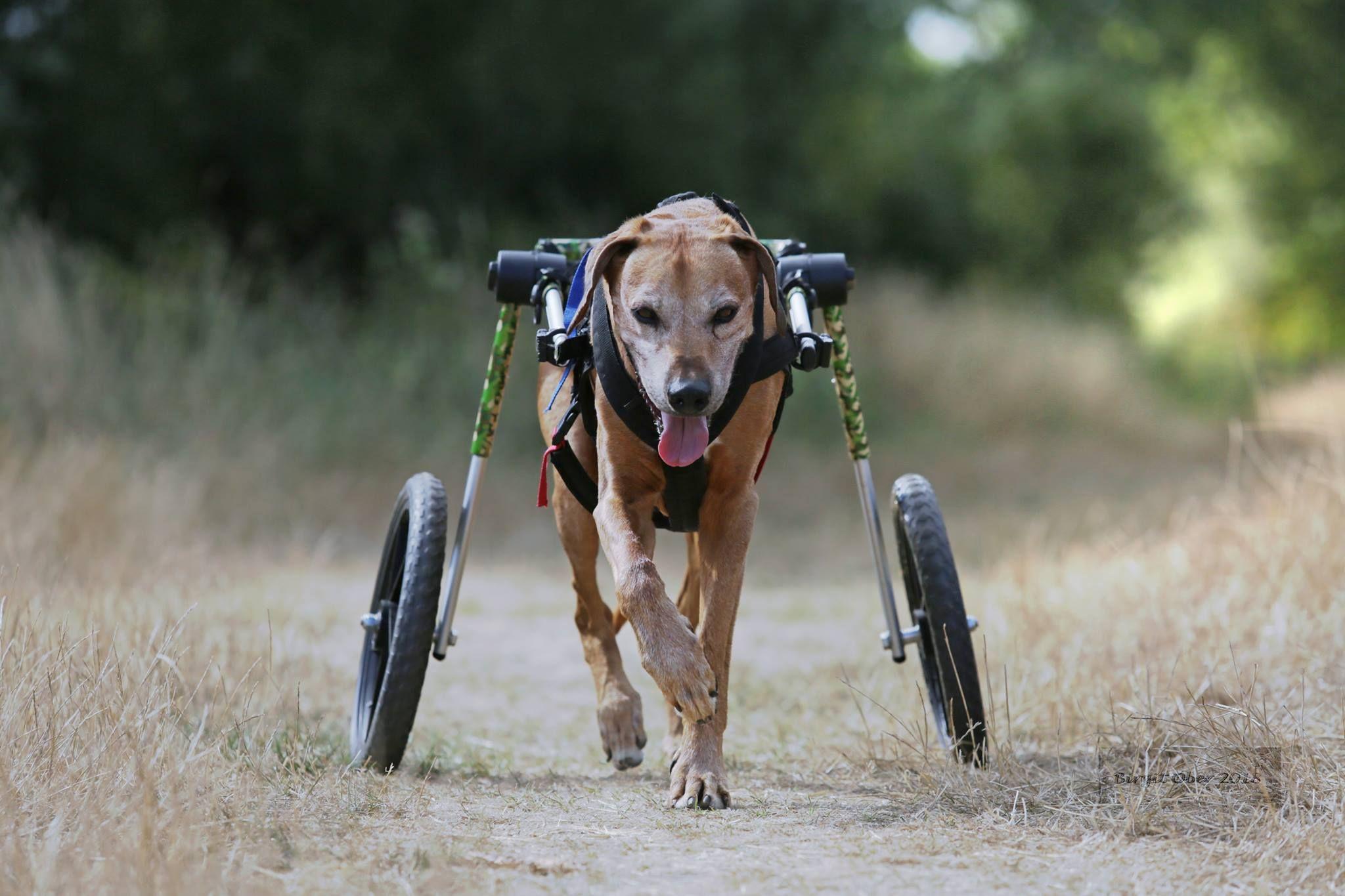 Walkin' Wheels Large Dog Wheelchair for Dog wheelchair