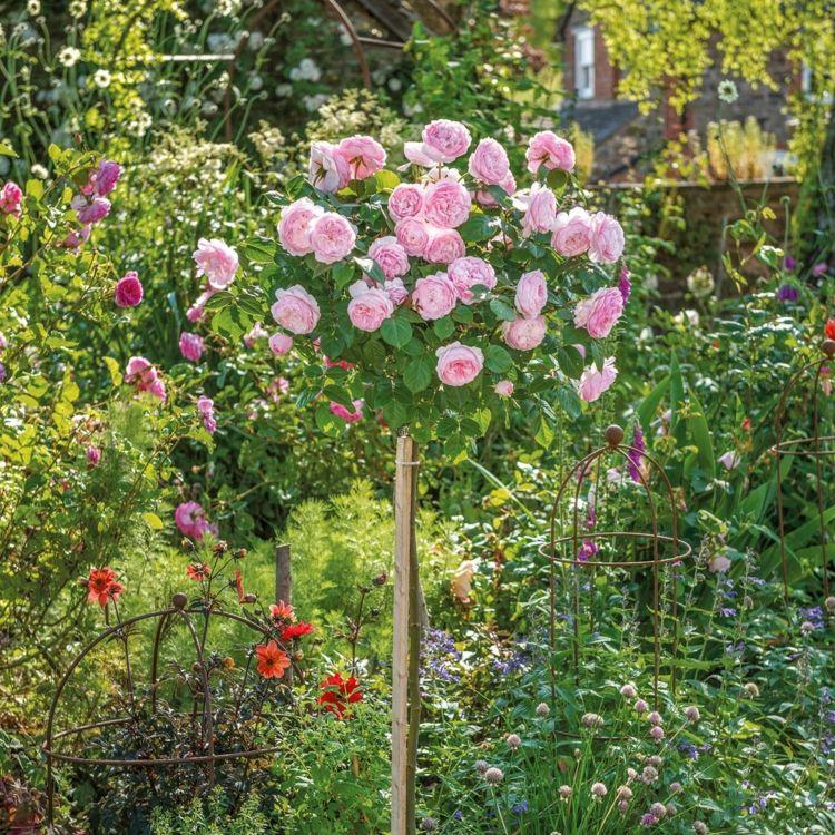 Olivia Rose Austin Halbstamm Stammrosen Pflanzen Pink Krone Kugelformig David Austin Rosen Bodendeckerrosen Hochstammrosen