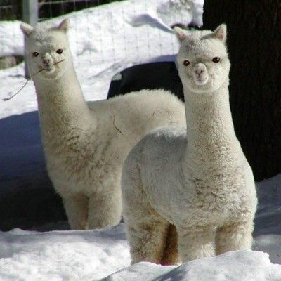 Let Us Help You Keep Your Alpacas Cool In The Summer Contact Us