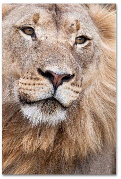 "Poster 24/"" x 16/"" Lion"