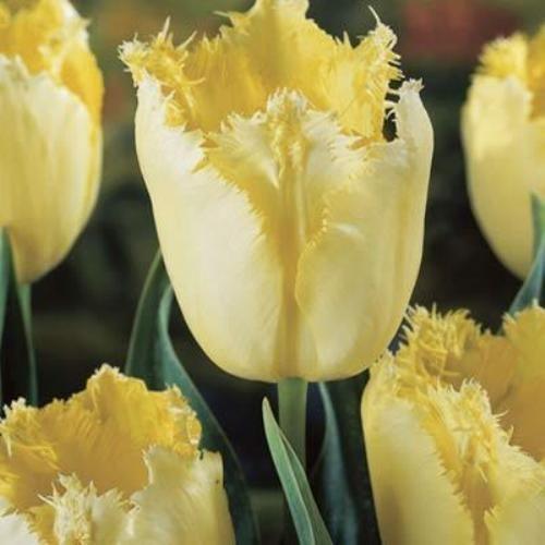 #tulip #flower Buy & #learn how to #grow #tulips http://www.growplants.org/growing/tulip Buy Maja Fringed Tulips x 10 Bulbs