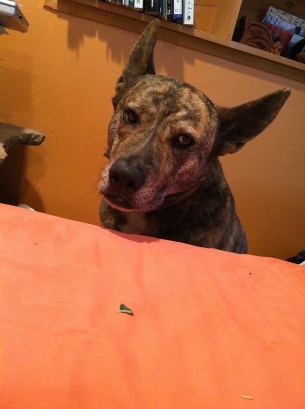 Supai S Web Page Lostourhome Org Tempe Az Share Dogs Pets Pet Dogs