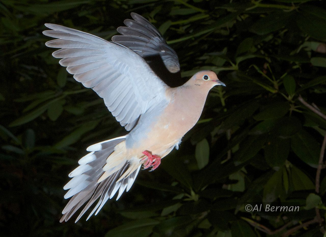 Mourning dove in flight trishas troops commission pinterest mourning dove in flight buycottarizona