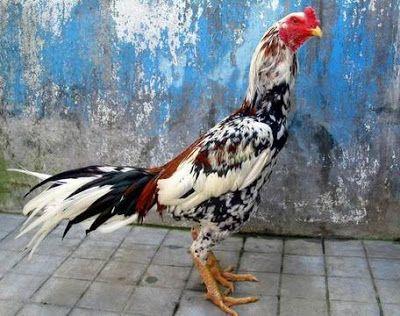 Ayam Bangkok Bagus Lengkap Dengan Gambar Dan Cirinya Ayam Bangkok Aduan Ayam Bangkok Ayam Thailand
