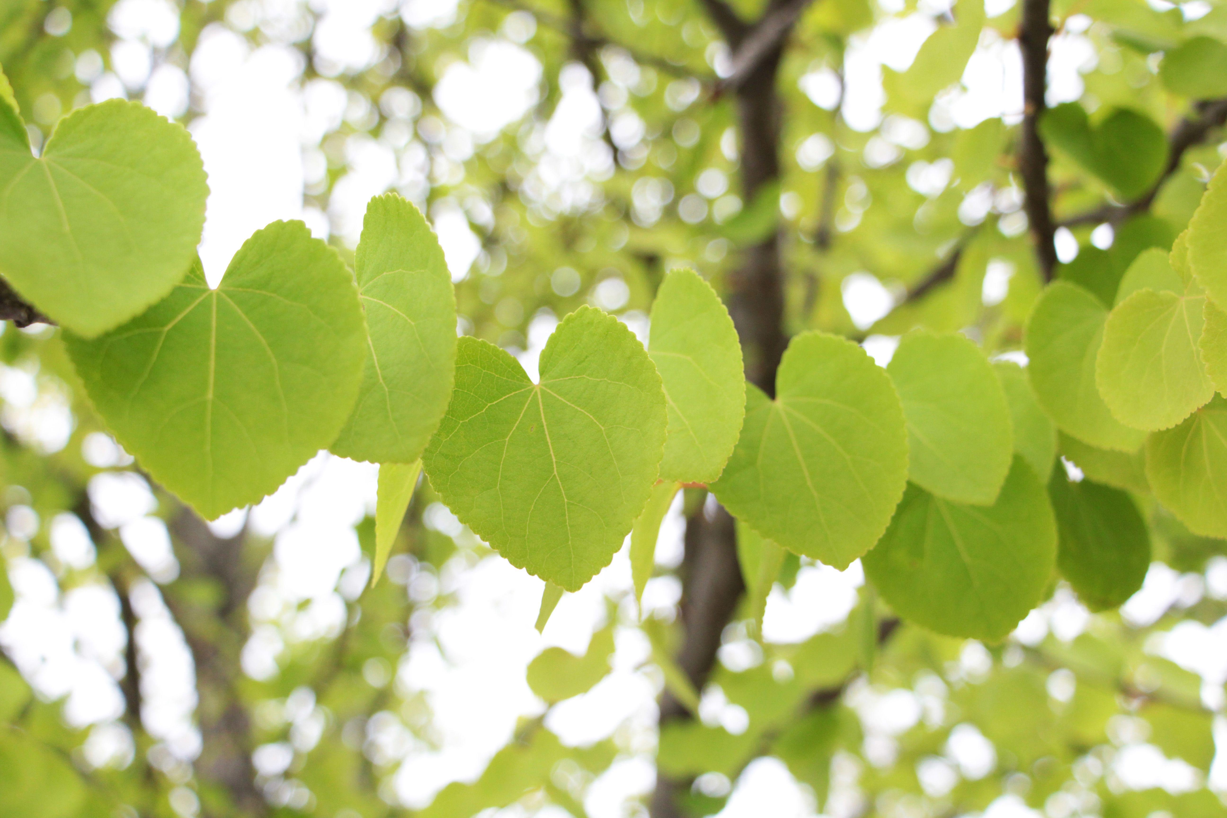 [P]七北田公園で見つけたカツラの木。ハートが並んだような葉が可愛い。