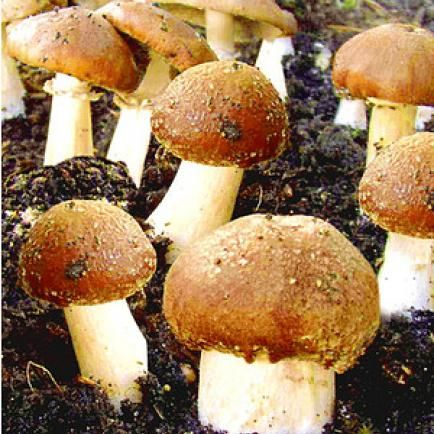 Pilze selber anbauen – so geht's