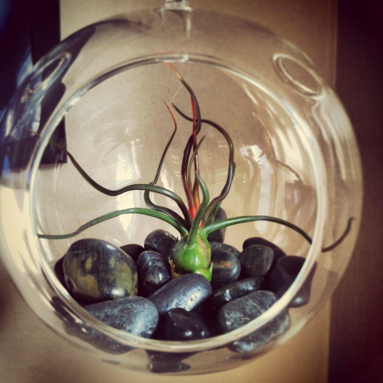 tillandsia terrarium florida flora farms happy plants. Black Bedroom Furniture Sets. Home Design Ideas