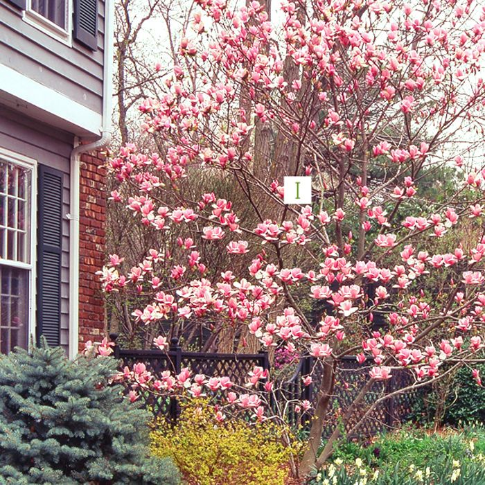 Design Tips For Blooming Trees And Shrubs Blooming Trees Flowering Trees Bloom Where Youre Planted