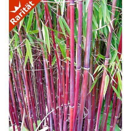 winterharte bambus hecke 5 pflanzen baldur garten gmbh garten. Black Bedroom Furniture Sets. Home Design Ideas