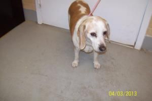 Adopt Angel On Petfinder Beagle Dog Adoptable Beagle Animal Shelter