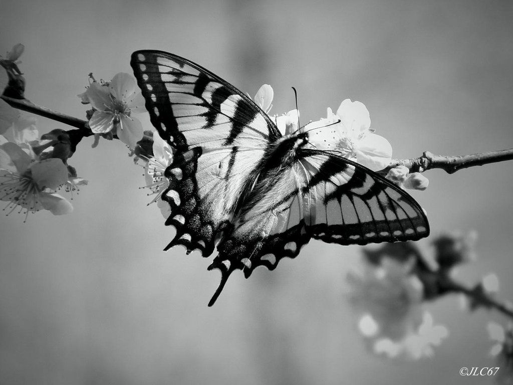 Butterfly Photography Black And White
