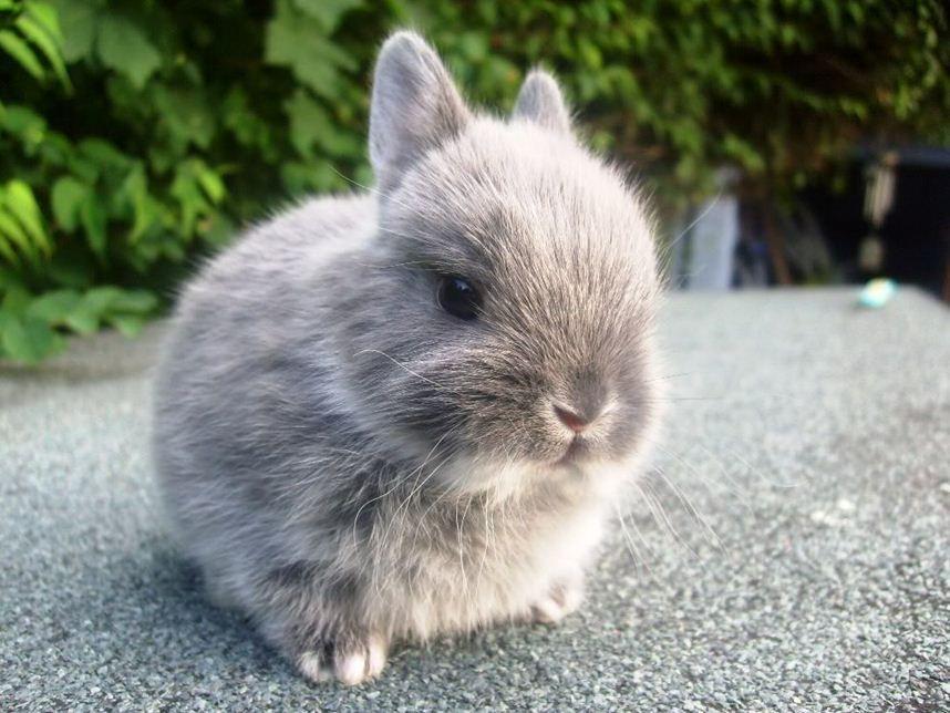 Different Breeds Of Dwarf Rabbits Dwarf Rabbit Dwarf Bunnies Pet Bunny