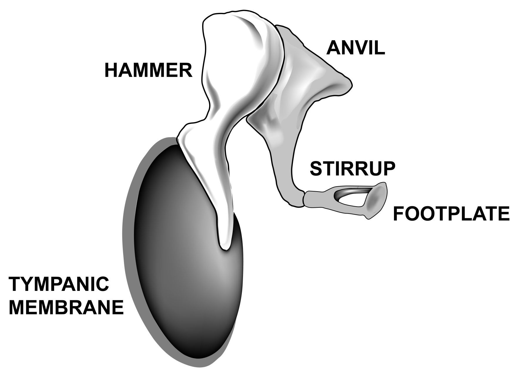 diagram of ossicles - electrical wiring diagrams