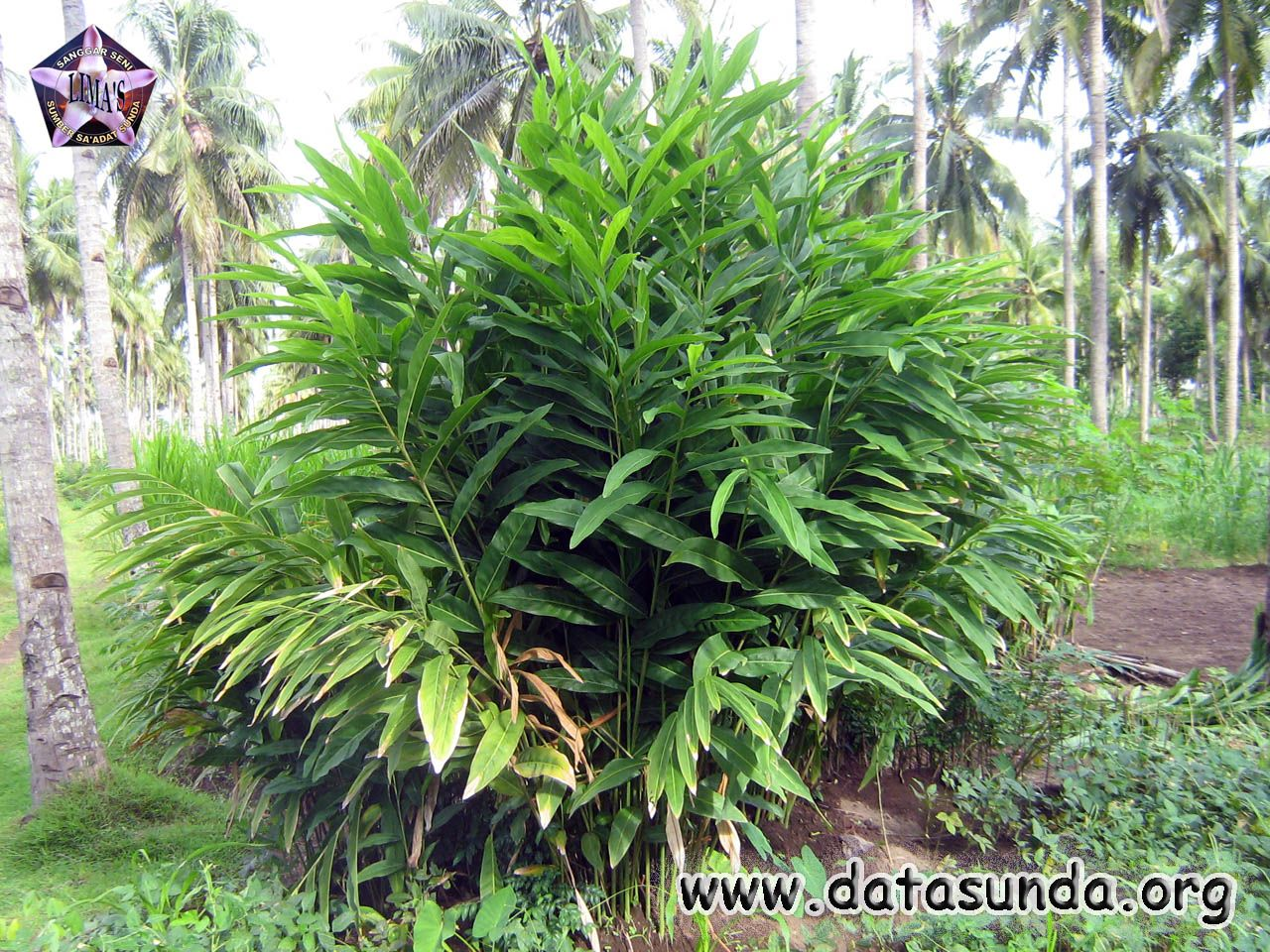 Alpinia galanga  It is one of four plants known as galangal