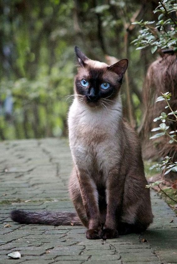 HOW MUCH DO YOU KNOW ABOUT SIAMESE CAT COLORATION?#siamese
