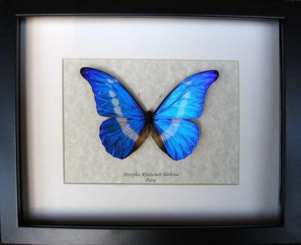 Morpho rhetenor helena real framed butterfly insect taxidermy