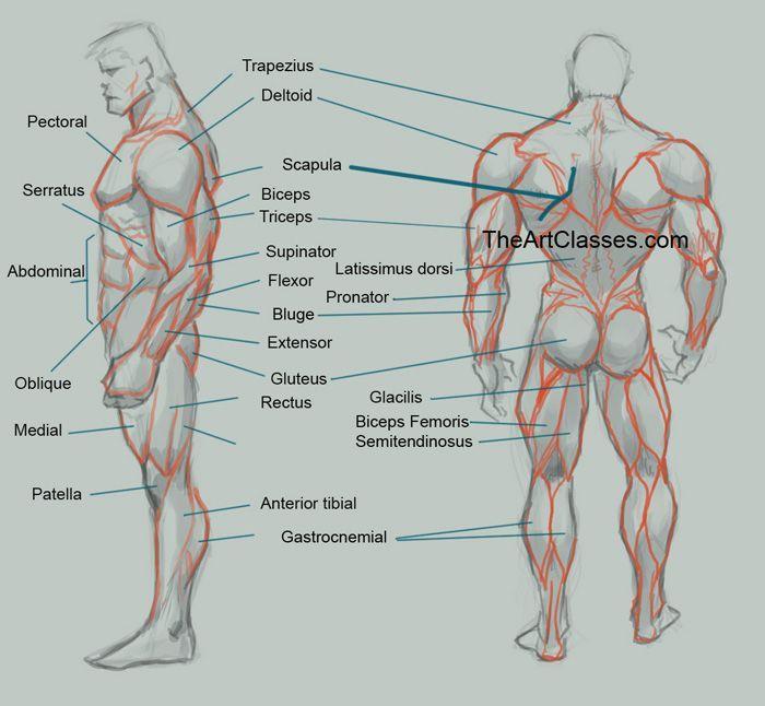 AnatoRef | Male Anatomy Reference Top Image & Row 2 Row3 Row ...