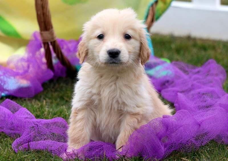 Golden Retriever Puppy For Sale In Mount Joy Pa Adn 71400 On