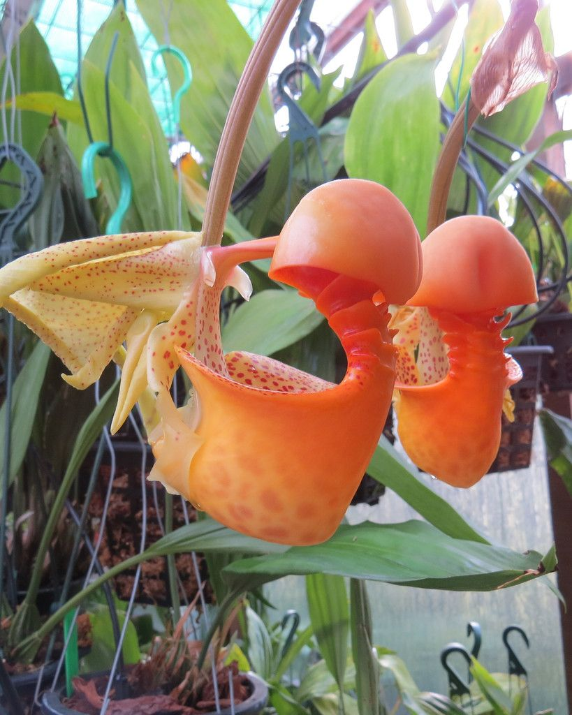 Coryanthes macrantha. Known as The Bucket Orchid or Monkey Throat Orchid, from Trinidad, French Guiana, Surinam, Guyana, Venezuela, Colombia, Peru and Brazil.