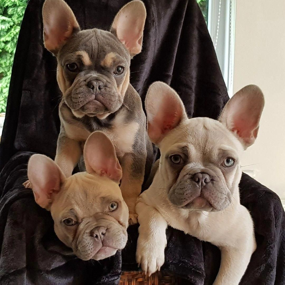 Pin Von Laurake Auf Puppy In 2020 Franzosische Bulldoggenbabys Haustiere