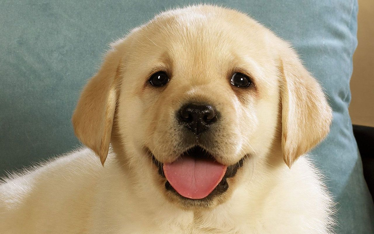 Smile Dog Cute Dog Pictures Cute Labrador Puppies Dog Pictures