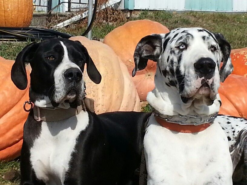 Great Danes Picking Great Pumpkins At Frey S Pumpkin Patch In