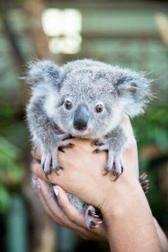 Bobbon Owwww Wat Een Droppie Koalas Pinterest Animaux