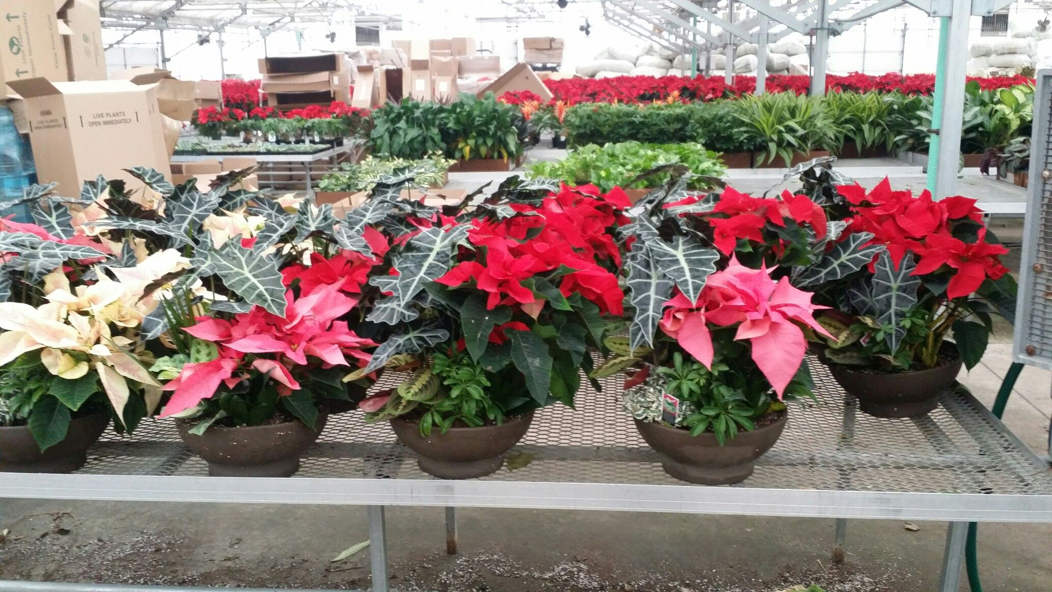 $49.95 Christmas Planters