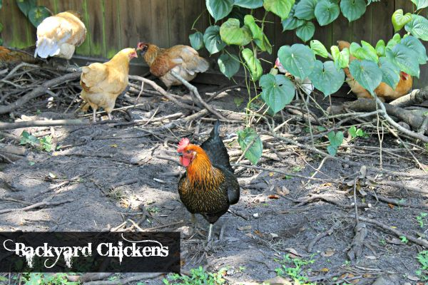 Backyard Chickens   Eggs The Reward Of Raising #BackyardChickens #Chickens # Eggs @Lisa