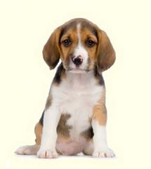 Beagle Mix Puppies For Sale In Pa Beagle Mix Puppies Dogs Puppies