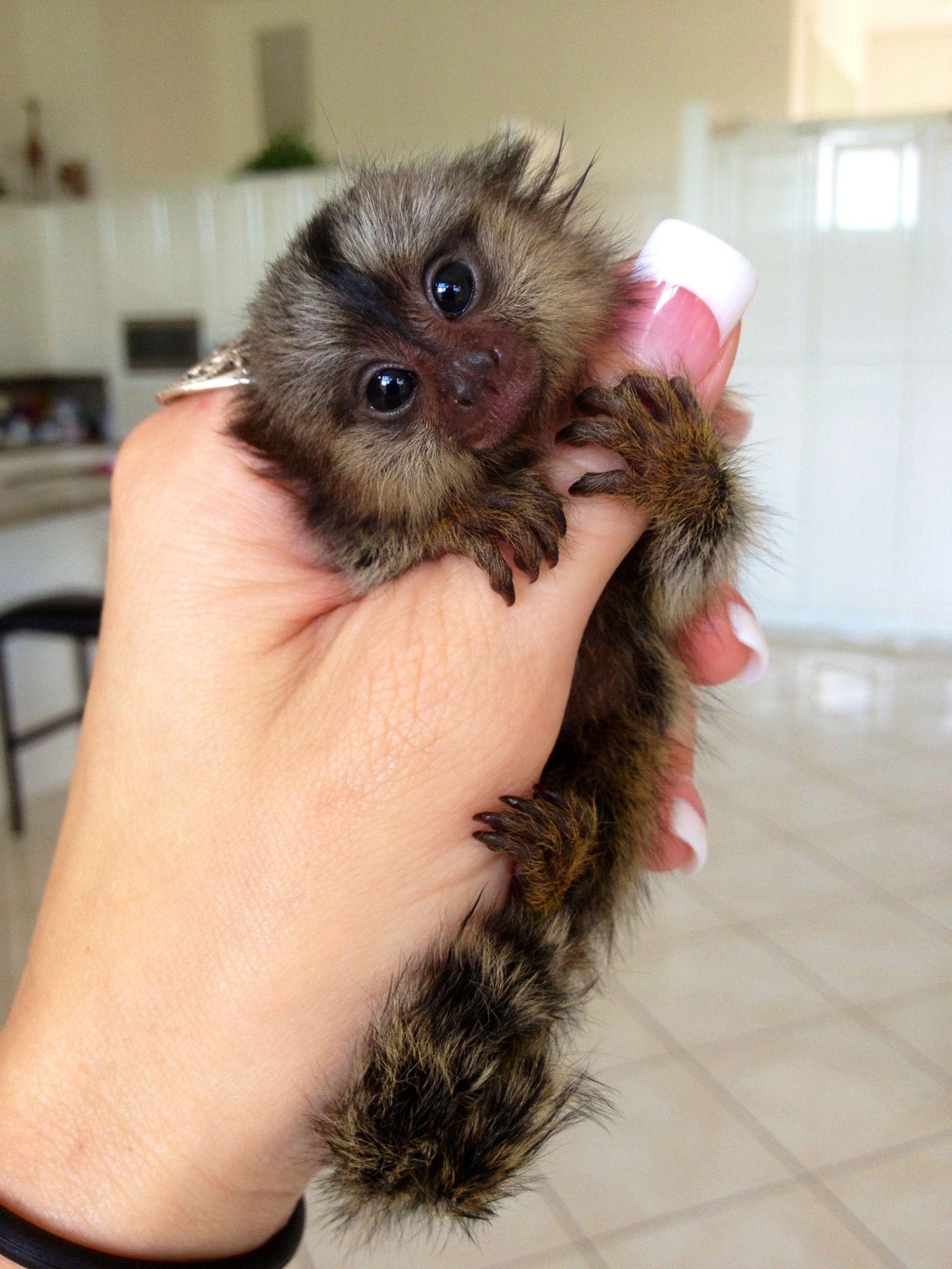 Marmoset Photos Cute Baby Animals Pet Monkey Baby Animals