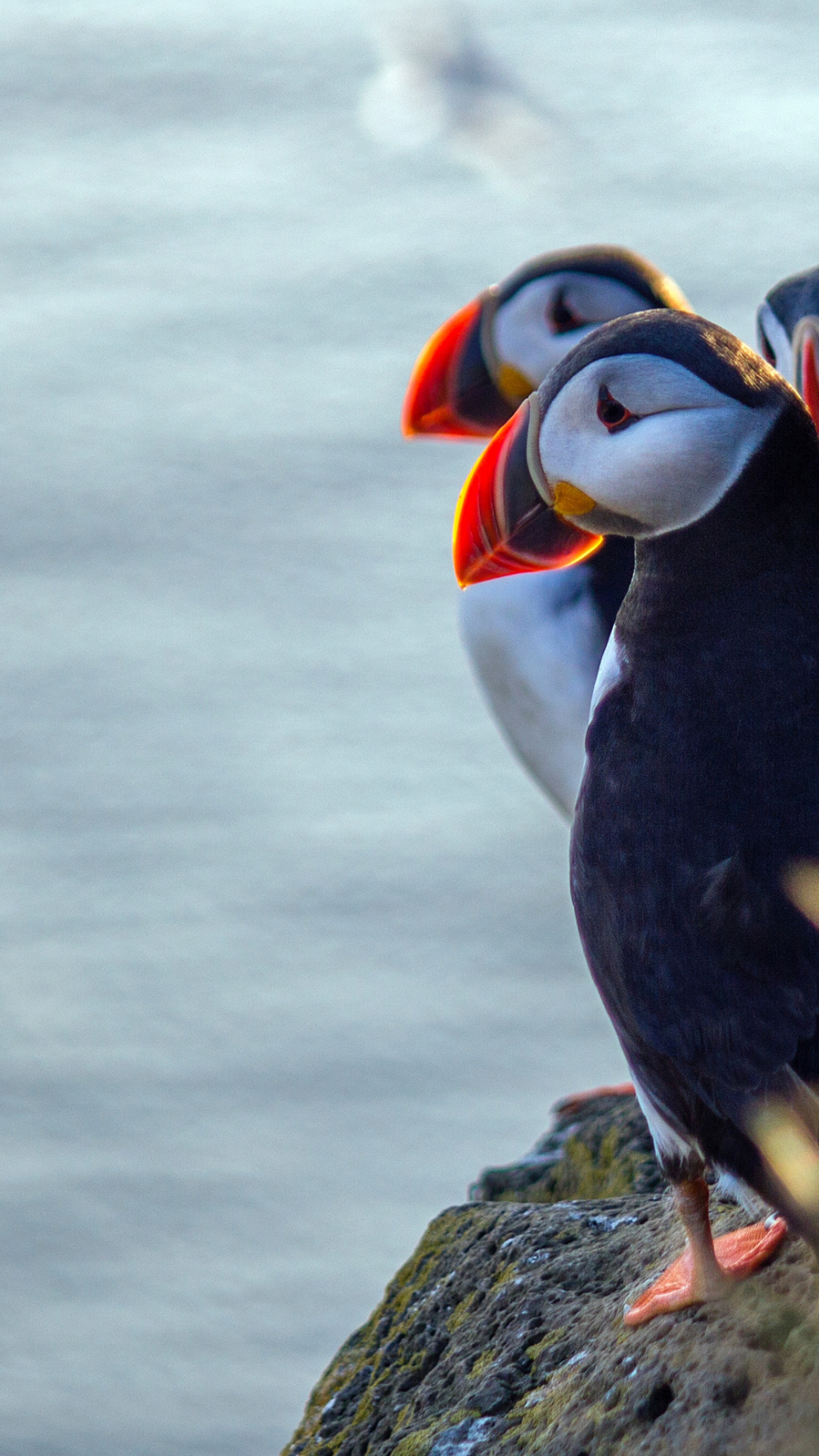Parliament of Puffins iPhone Wallpaper