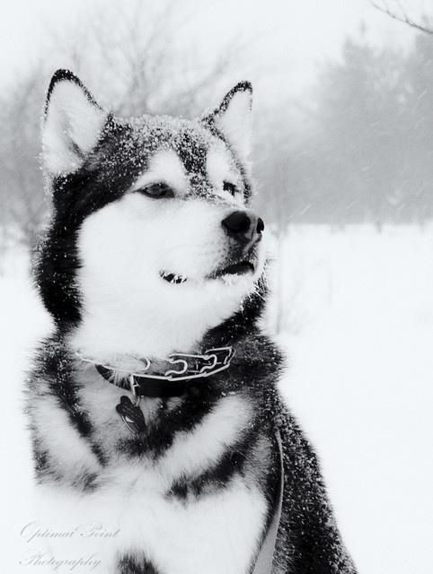 Huskey | alaskan malamute | Pinterest | Huskies siberianos, Animales ...