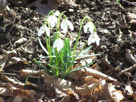 Snowdrops Galanthus Nivalis Letting Go Renewal It Helps To Take The Risk Of Committing And Dare To Act It Helps To Go Beyond The Tr Bach Flowers